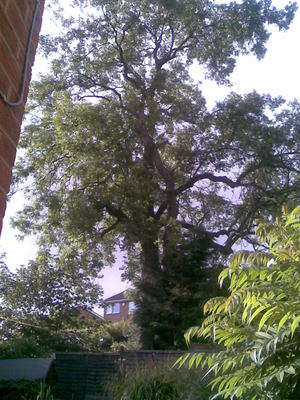 古いトネリコの大木
